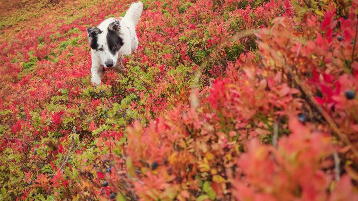 Brughiere di Mirtillo in Autunno: quando le montagne si colorano di rosso